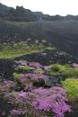 Wild Thyme (Thymus serpyllum) at Fagradalsfjall