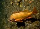 Mindre kungsfisk (Sebastes viviparus)