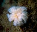 Plumose anemone (Metridium senile)