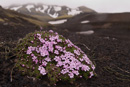 Moss campion (Silene acaulis ssp arctica) is a character plant that even can cope with the sand fields