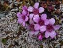 Purple mountain saxifrage (Saxifraga oppositifolia)