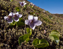 Alpine Marsh Violet (Viola palustris)