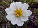 Eightpetal mountain-avens (Dryas octopetala, but with ten)