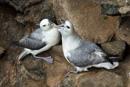 Stormfågel (Fulmarus glacialis)