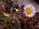 Alpine Fleabane (Erigeron borealis)