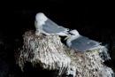 Tretåig mås (Rissa tridactyla)