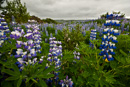 Large areas with Nootka lupin, an Alaskan migrant (Lupinus nootkatensis)