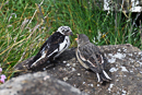 Snow bunting (Plectrophenax nivalis) with juvenile