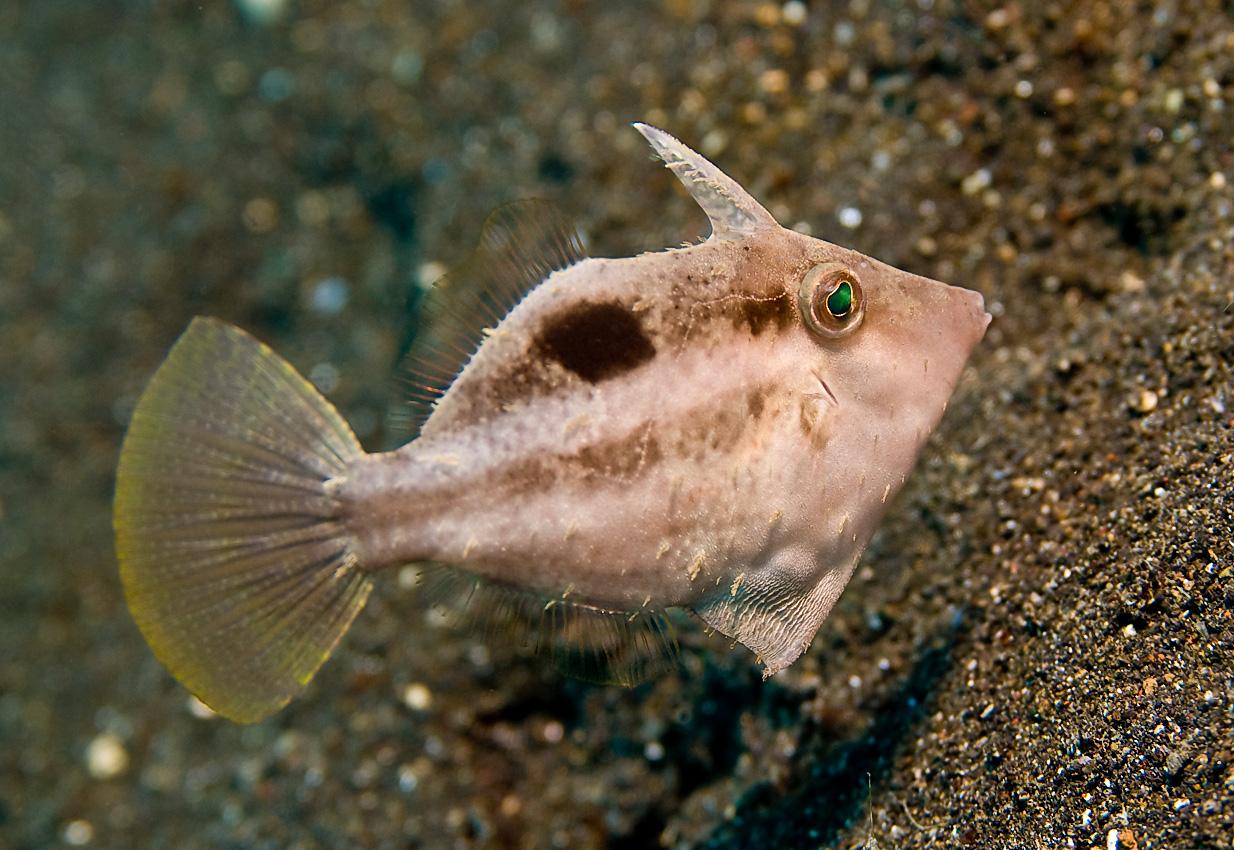 Japanese filefish (Paramonacanthus japonicus)