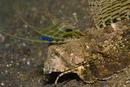 Fingered dragonet (Dactylopus dactylopus)