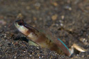 unidentified shrimp goby (Amblyeleotris sp)