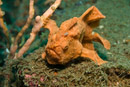 Painted frogfish (Antennarius pictus)