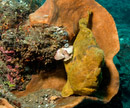 Giant frogfish (Antennarius commersonii)