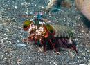 Påfågelboxarräka (Odontodactylus scyllarus)
