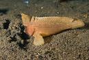 Kakadua-getingfisk (Ablabys taenianotus)