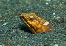 Napoleon snake eel (Ophichthus bonaparti)