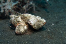Djävulsskorpionfisk (Scorpaenopsis diabolus)