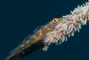 Wire coral goby (Bryaninops yongei)