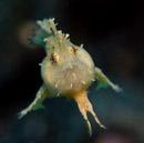 Sargassum frogfish (Histrio histrio)