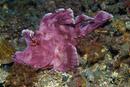 Paddle-flap scorpionfish (Rhinopias eschmeyeri)