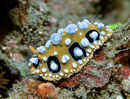 The nudibranch Phyllidia ocellata
