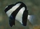 Trerandig frökenfisk (Dascyllus aruanus)