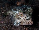 Shortnose boxfish (Ostracion nasus)