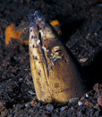 Black-finned snake eel (Ophichthus melanochir) with Pepper-and-salt commensal shrimp (Ancylomenes venustus)