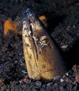 Svartfenad ormål (Ophichthus melanochir) med Salt-och-peppar räka (Ancylomenes venustus)