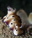 Hypselodoris tryoni