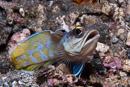 Gold-specs jawfish (Opistognathus randalli)