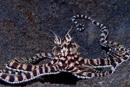 Härmbläckfisk (Thaumoctopus mimicus)