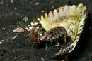 boxarräka (Odontodactylus sp)