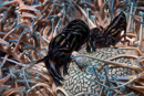 räka i hårstjärna (Synalpheus stimpsoni?)