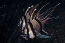 Banggai cardinalfish (Pterapogon kauderni) with eggs in the mouth