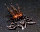 Sjöborrekrabba (Dorippe frascone) bärandes på en eldsjöborre (Astropyga sp)
