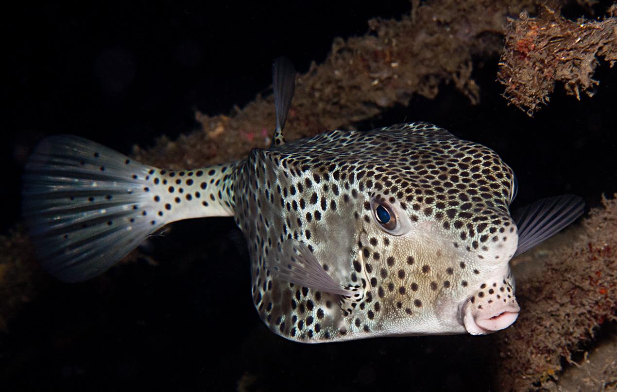 Largenose boxfish (Ostracion rhinorhynchos)