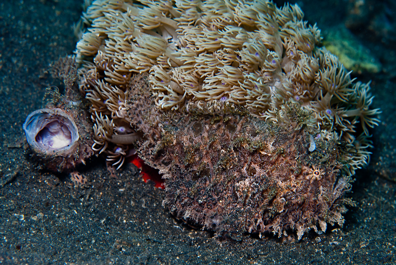 Striped frogfish (Antennarius striatus), small and big