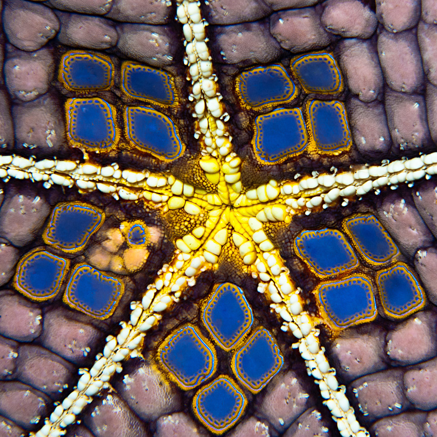 Pin Cushion Seastar (Culcita novaeguineae), bellyside of color morph