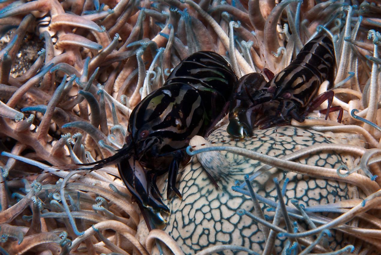 crinoid snapping shrimp (Synalpheus stimpsoni?)