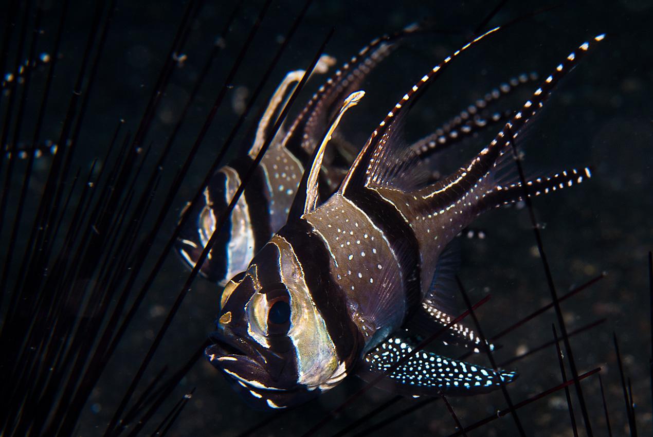 Banggai cardinalfish (Pterapogon kauderni) with eggs in the mouth