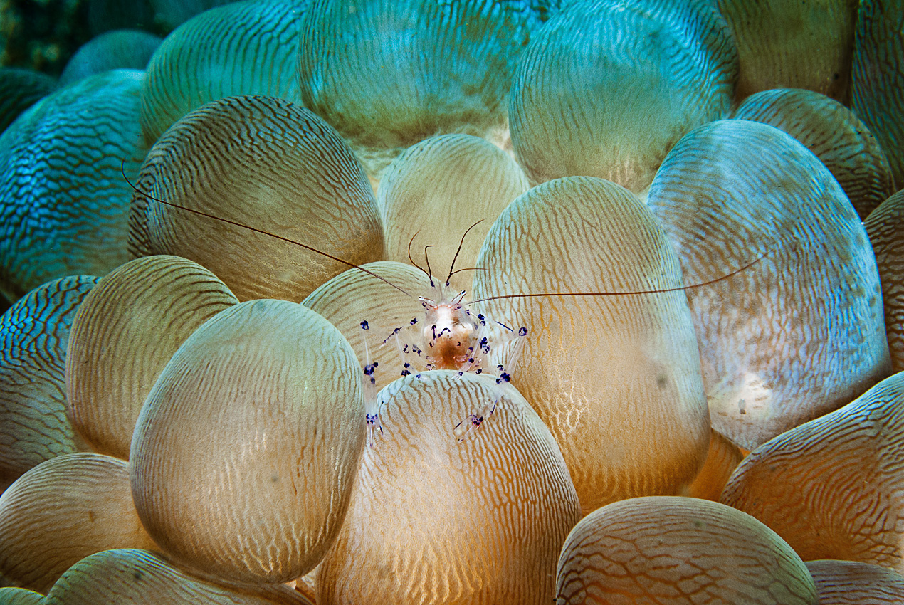 Bubble coral shrimp (Vir colemani)