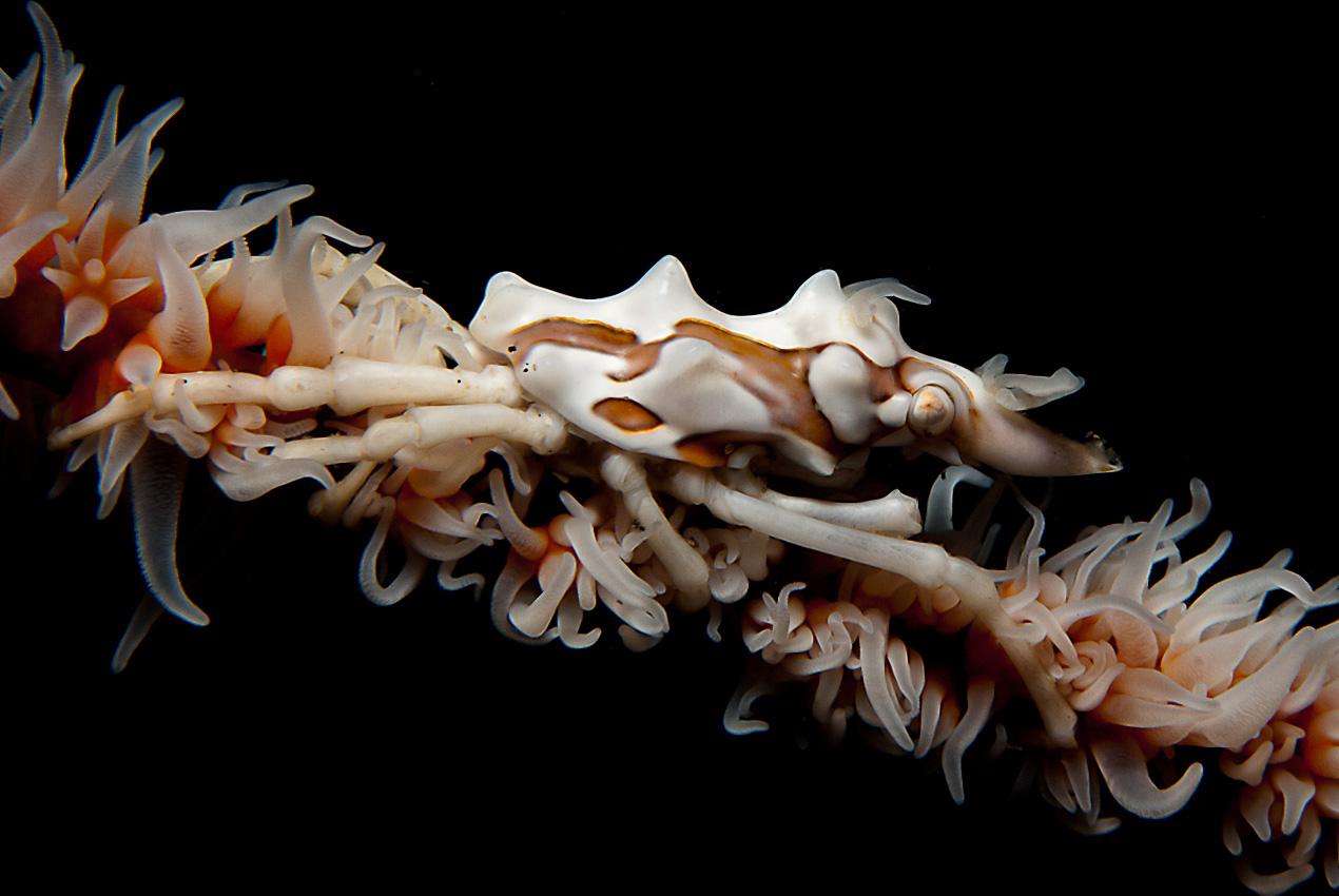 Whip coral spider crab (Xenocarcinus tuberculatus)