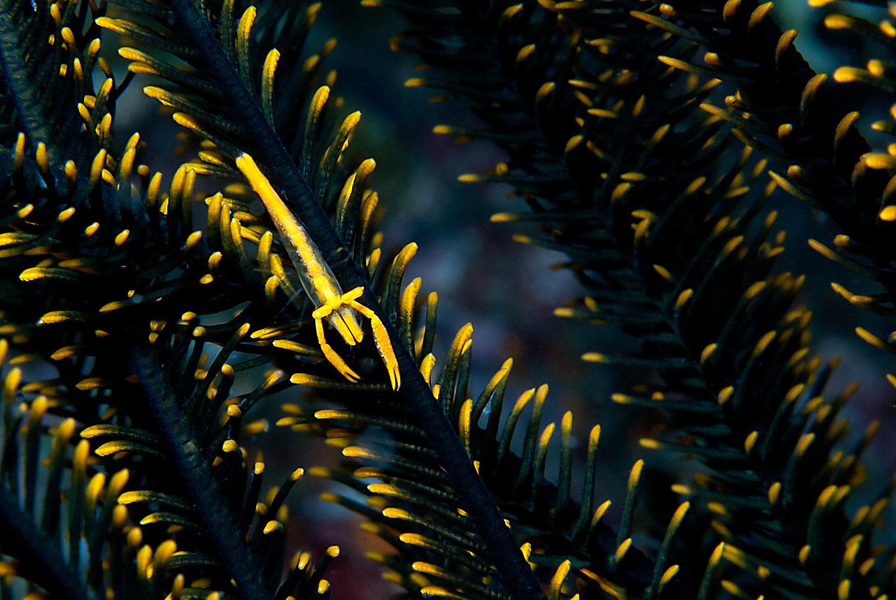 Crinoid commensal shrimp (Periclimenes commensalis)