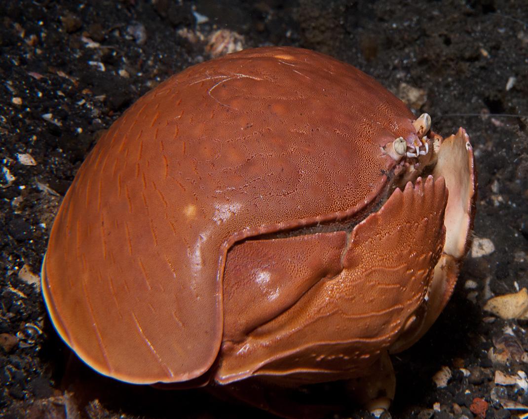 Calappa crab (Calappa calappa)