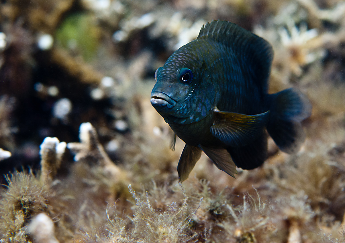 Unidentified damselfish