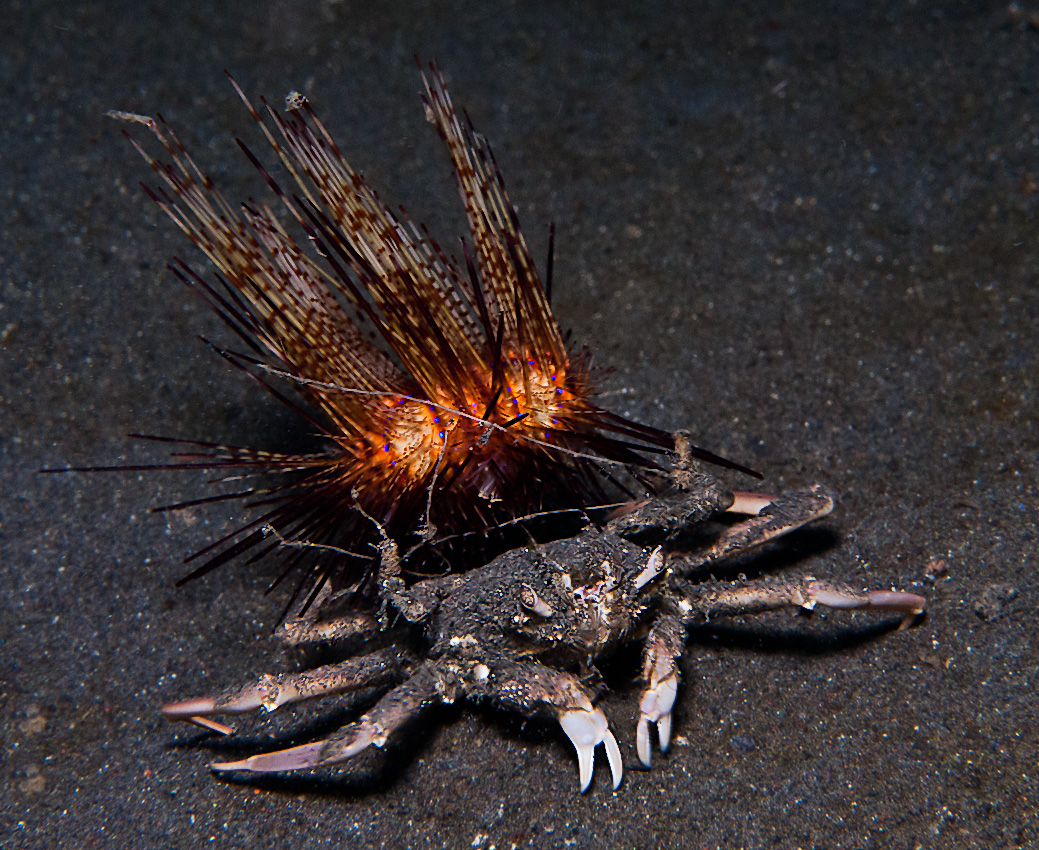 Sea Urchin Crab (Dorippe frascone) carrying a Fire urchin (Astropyga sp)