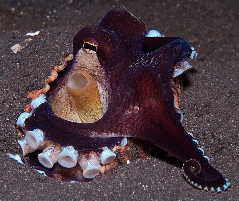 Coconut octopus (Amphioctopus marginatus)