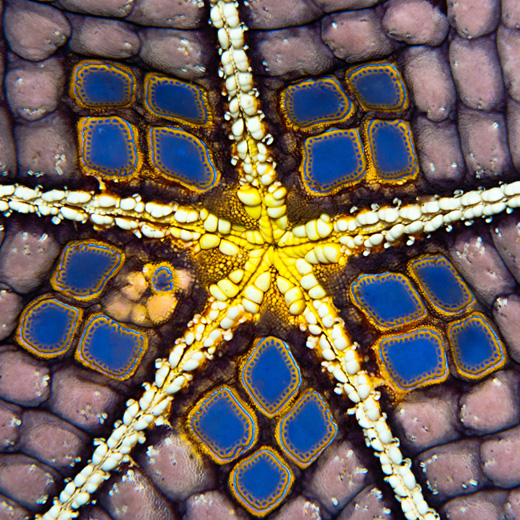 Pin Cushion Seastar, the bellyside of a rare color morph