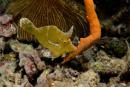 Borststjärtad filfisk (Acreichthys tomentosus)